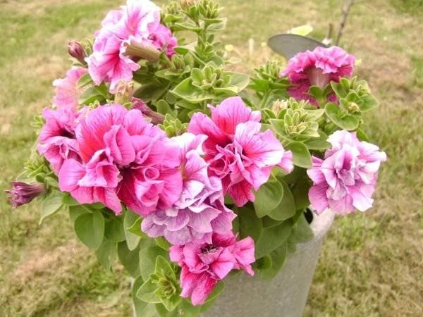 Семена петунии – недорогой способ вырастить роскошный цветник