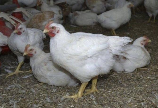 Выращивание цыплят: птицеводство от а до я. пошаговая инструкция по уходу и содержанию цыплят в домашних условиях (видео и 110 фото)