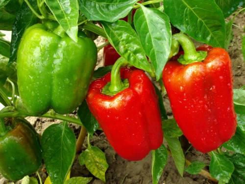 Болгарский перец: выращивание в теплице
