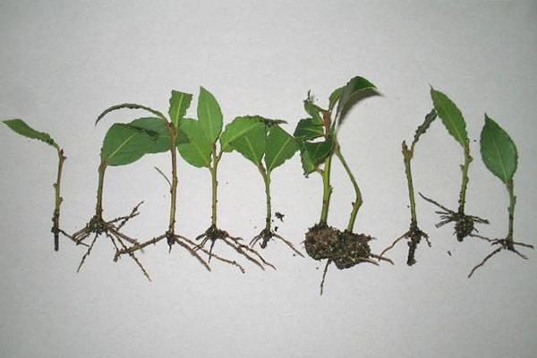 Реликтовое лавровое дерево в домашних условиях: уход, условия выращивания, посадка и размножение