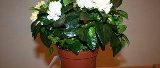 Удивительные цветы рода гардения: уход в домашних условиях, размножение, проблемы при выращивании