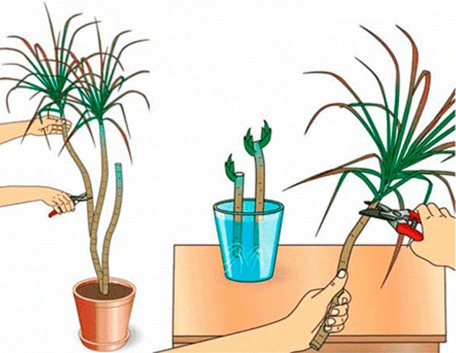 Драцена – размножение в домашних условиях