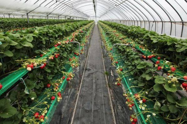 Как выращивать клубнику круглый год в теплице