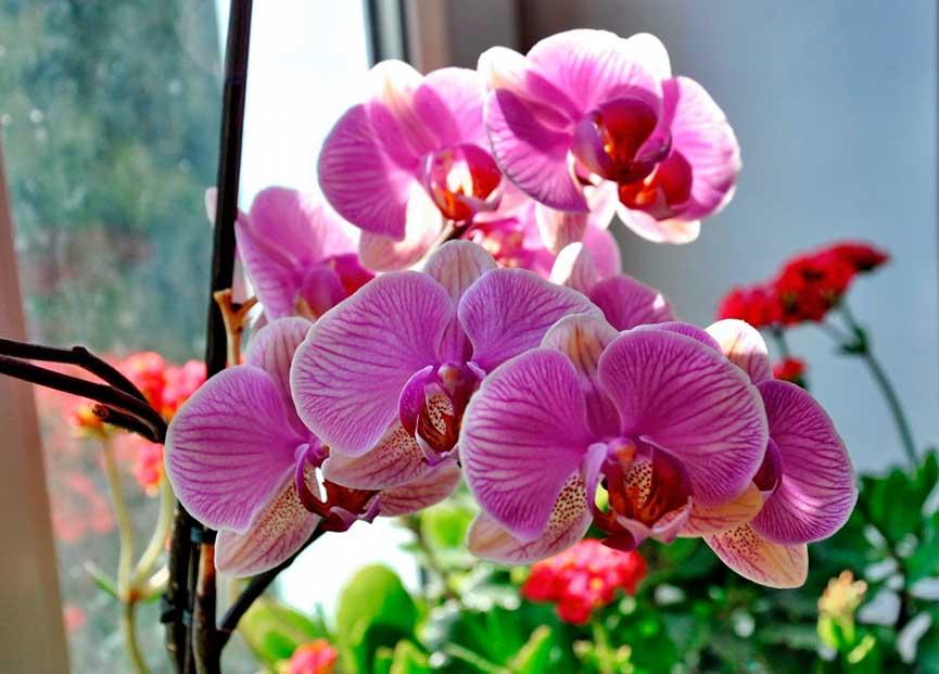 Цветок с необычной окраской — орхидея дикий кот. описание, фото растения, особенности ухода