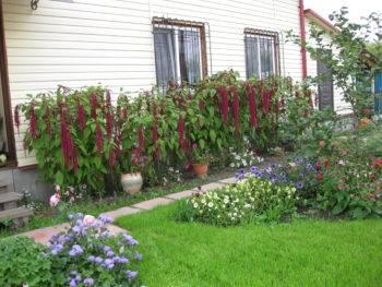 Цветок амарант: фото, виды, описание, разведение и особенности ухода