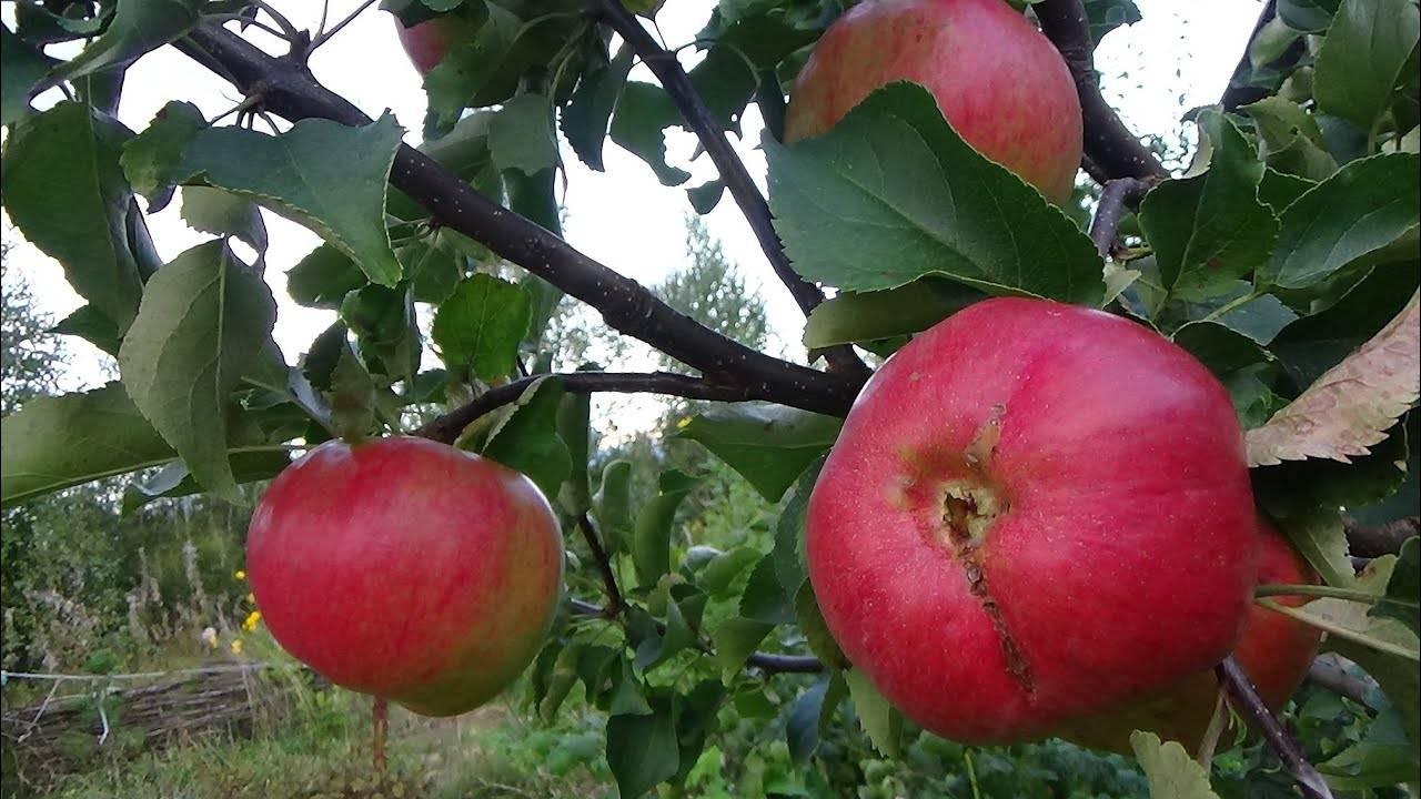 Гнилые яблоки как удобрение для малины и клубники