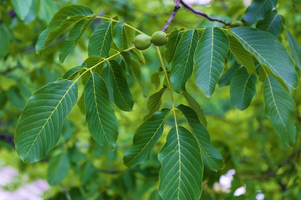 Листья грецкого ореха: пустышка или лекарство? применение листьев грецкого ореха в народной медицине