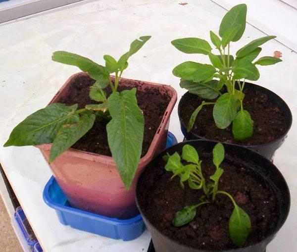 Как сажать и выращивать пепино из семян в домашних условиях