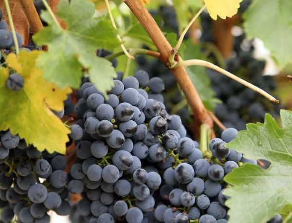 Выращивание винограда на урале: фото и видео