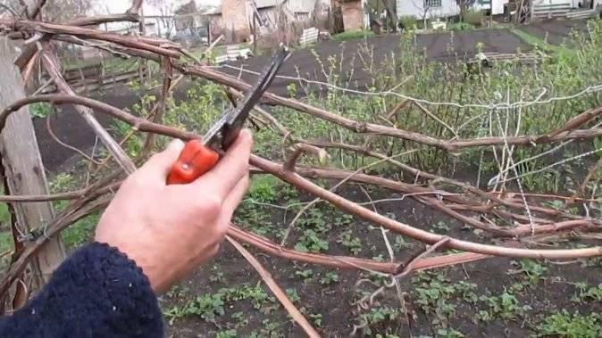 Обрезка винограда весной: основные правила, тонкости и способы формировки