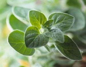 Выращивание майорана – посев, уход и употребление
