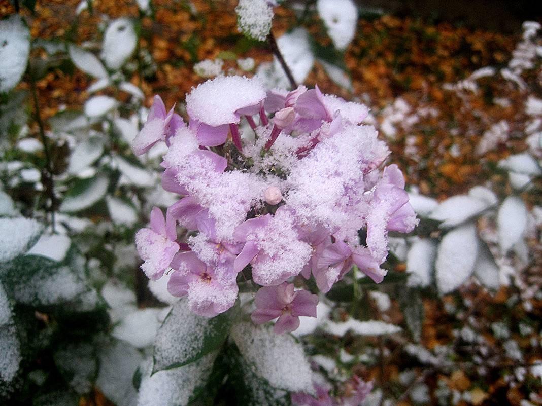 Когда укрывать цветы на зиму. зимовка многолетних цветов и правила подготовки. способы подготовки многолетников к зиме