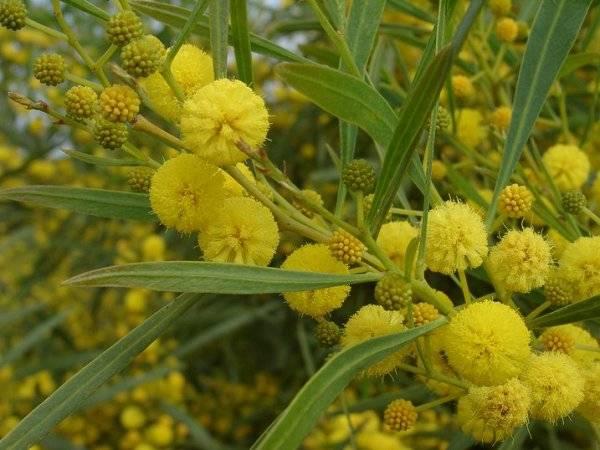 Стыдливая мимоза: выращивание и уход в домашних условиях