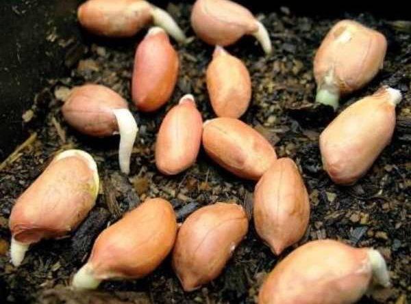 Посадка семян дыни в открытый грунт и в теплицу: сроки, правила, схемы