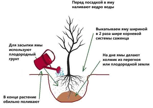 Размножение спиреи отводками и её весенняя обрезка