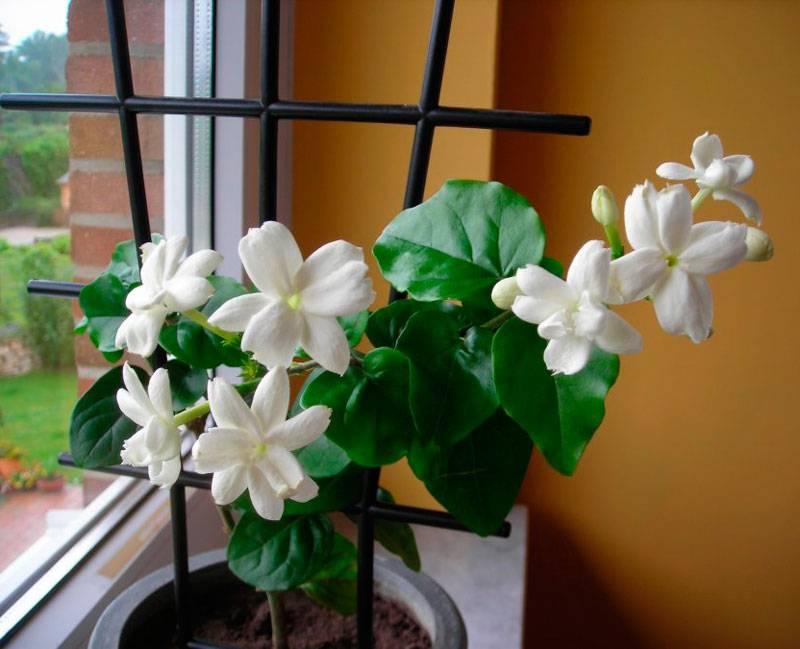 Важное об уходе в домашних условиях за комнатным жасмином