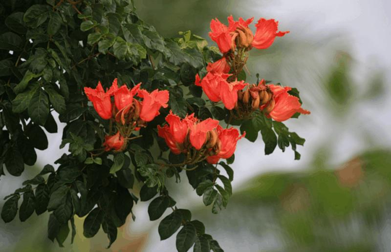 Тюльпановое дерево: посадка и уход