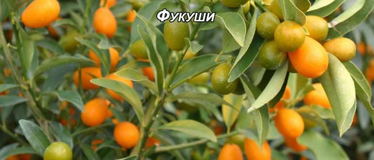 Выбираем сорта кумквата для садов россии