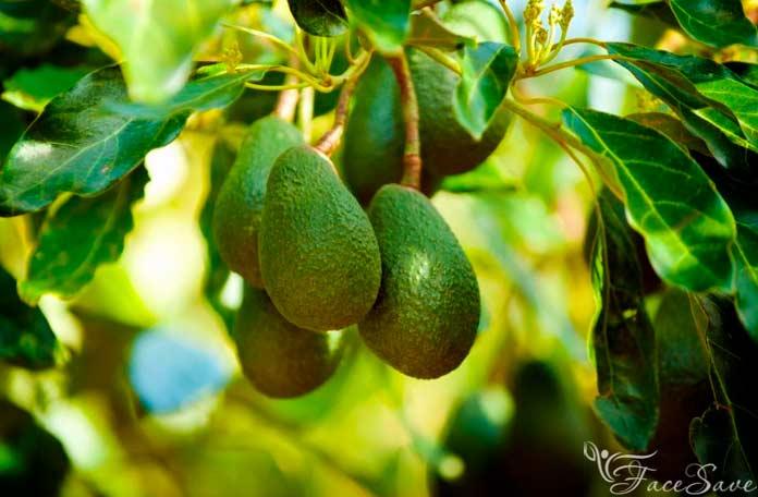 Масло авокадо: свойства и применение для ухода за кожей