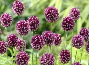 Лукочеснок «рокамболь»: описание, агротехника выращивания