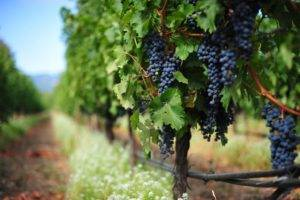 Виноград для настоящего пиршества – гибрид фуршетный