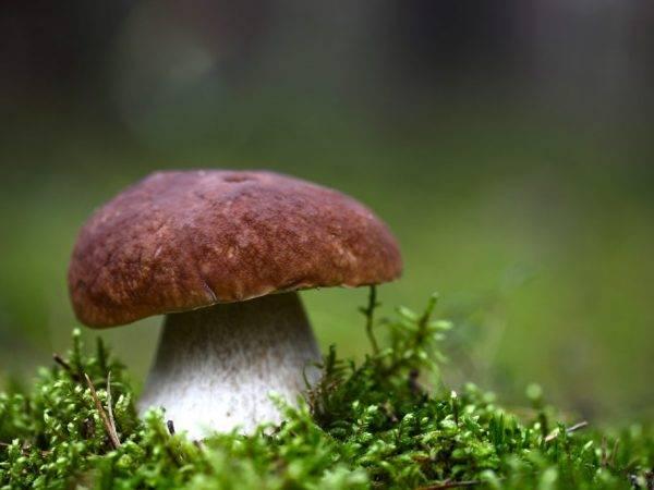 Как отличить белый гриб