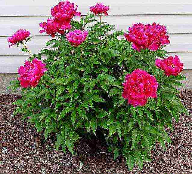 Пионы: выращивание в саду, виды и сорта