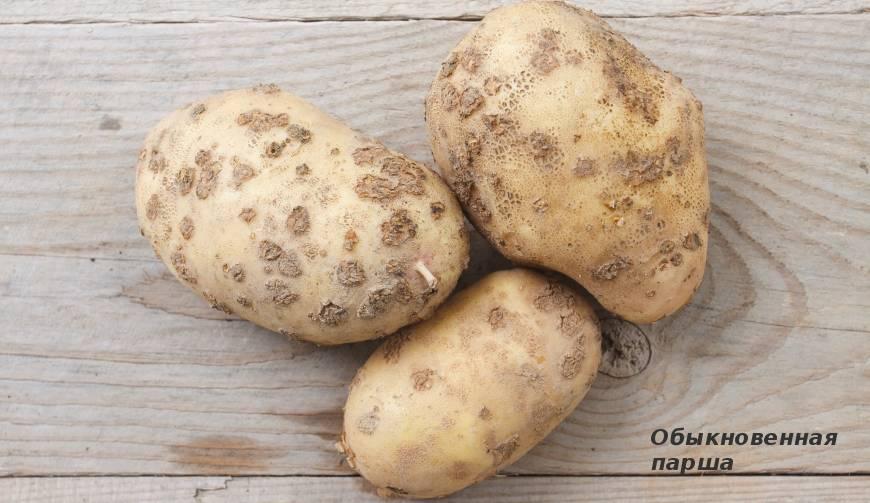 Коварная нематода картофеля: признаки поражения, методы борьбы и профилактики