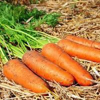 Теплый погреб — не проблема: как сохранить морковь на долгое время?