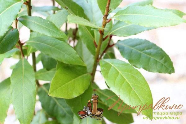 Посадка лаврового листа черенком