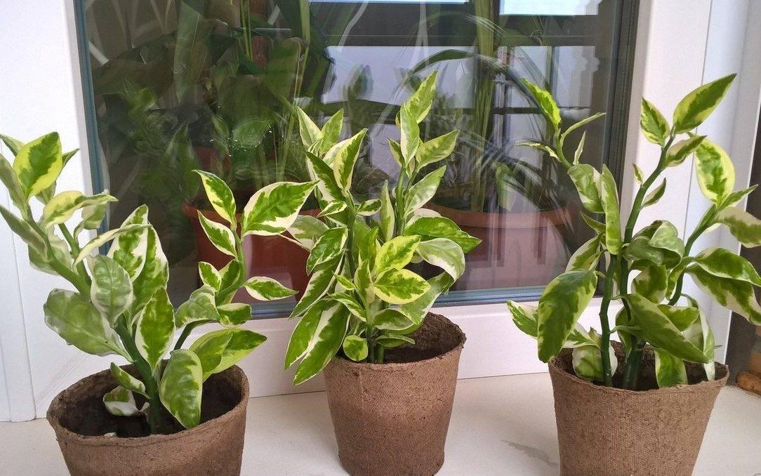 О видах педилантуса и особенностях выращивания цветка в домашних условиях