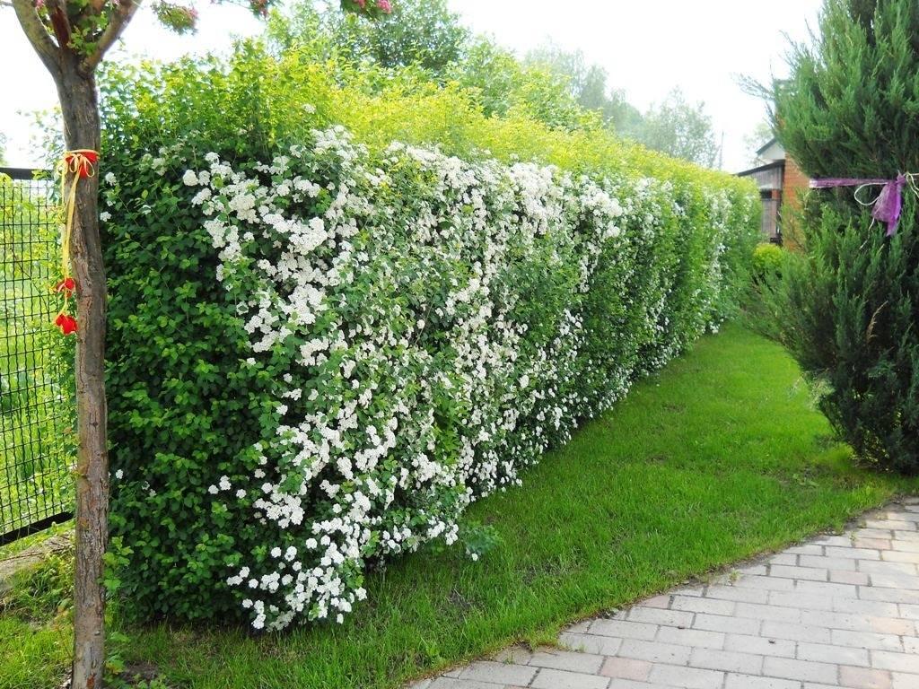 Выбираем колючие кустарники для живой изгороди