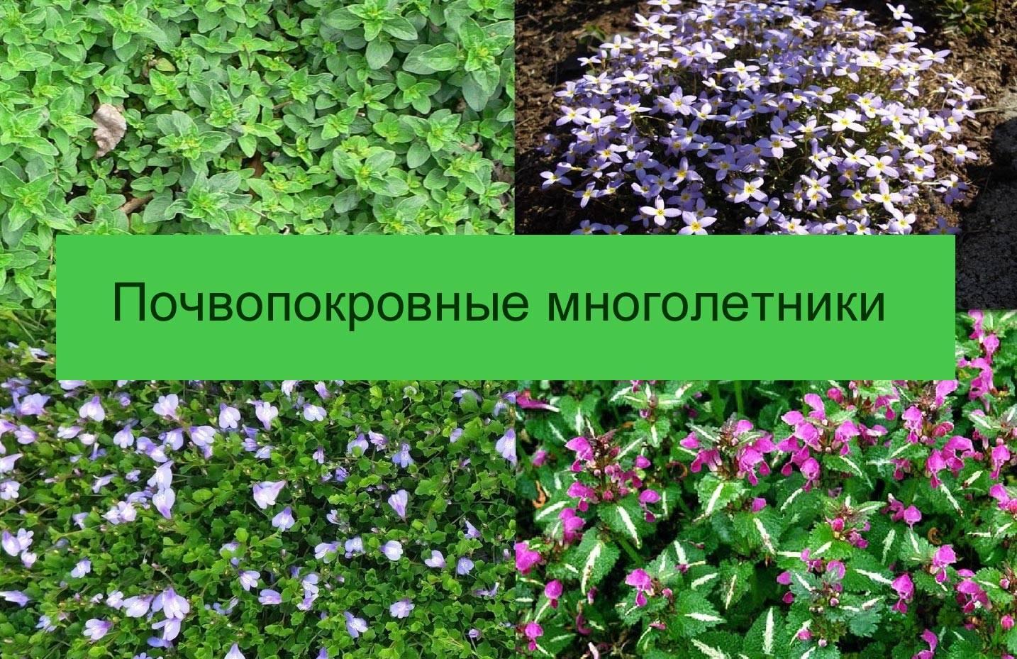 Тимьян ползучий (чабрец) — богородская трава: посадка и уход