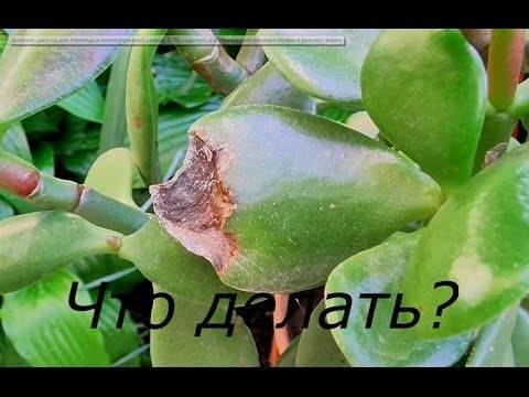 Толстянка сбрасывает листья: как установить причину и что делать