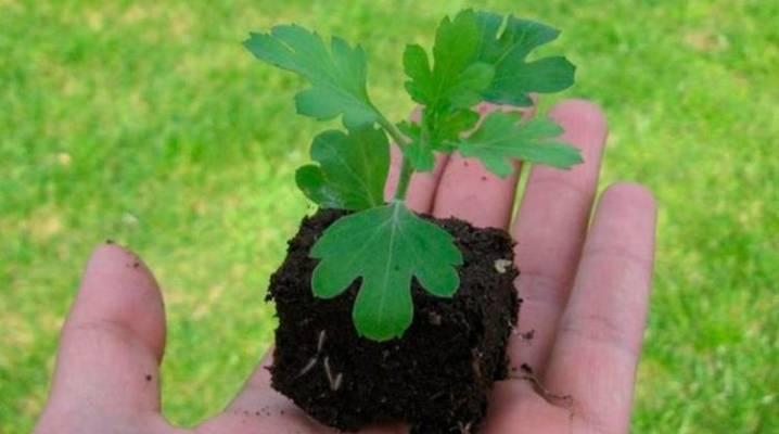 Как вырастить рассаду хризантемы