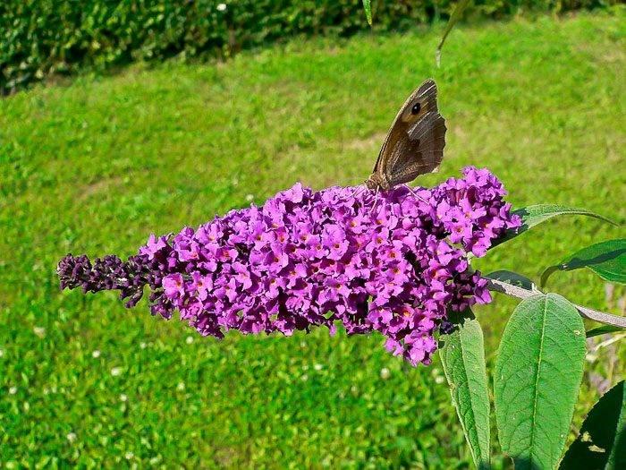 Цветы будлея: посадка и уход в открытом грунте