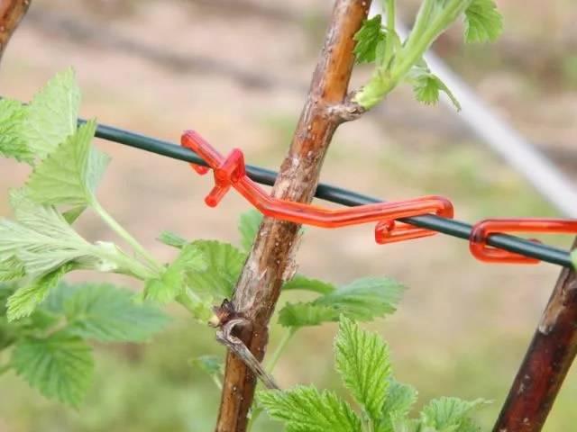 9 правил для хорошего урожая малины