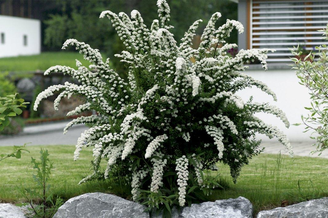 Спирея вангутта — ботаническое описание и сорта