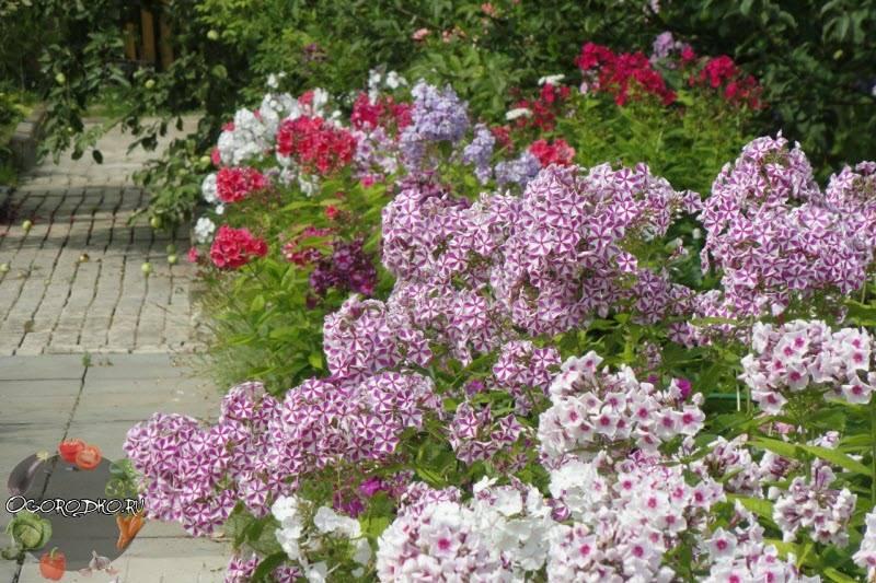 Выращивание лапчатки в саду – советы по посадке, уходу, обрезке