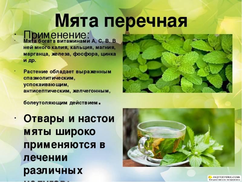 Мелисса лечебные свойства и противопоказания для мужчин и женщин