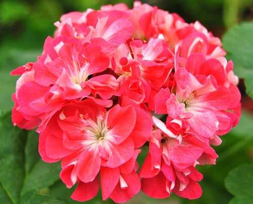 Пеларгонии зональные: розебуды, диконы, стеллары и другие