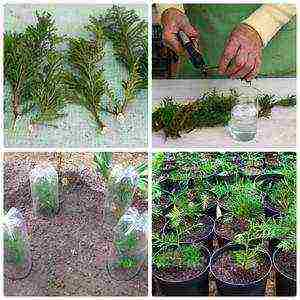 Выращивание дерева туя из семян в домашних условиях