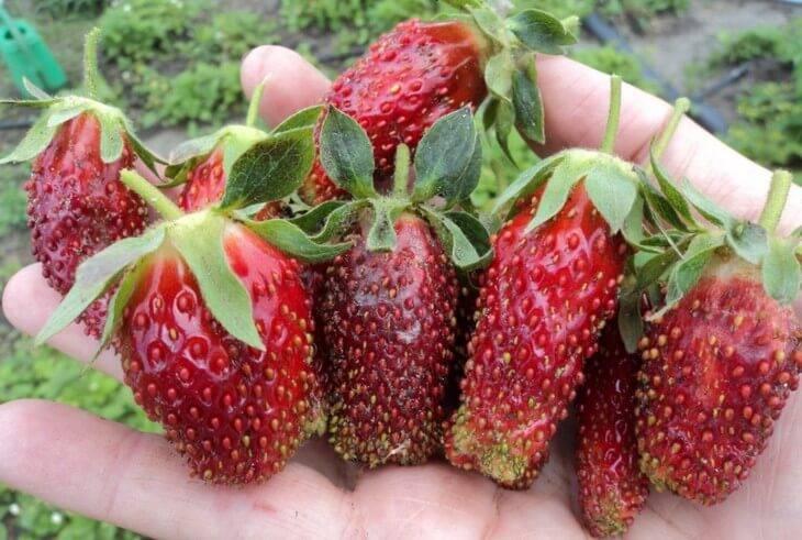 Высокоурожайный сорт садовой земляники — купчиха