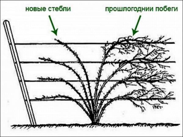 Обрезка ежевики осенью: полезные советы для начинающих садоводов