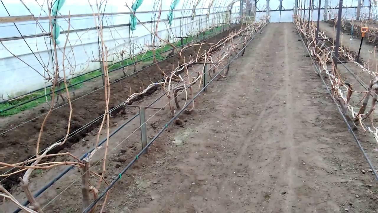 Выгонка тюльпанов с января по март