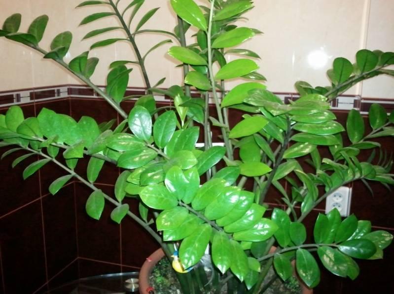 Удобрение для замиокулькаса: уход в домашних условиях, советы цветоводов
