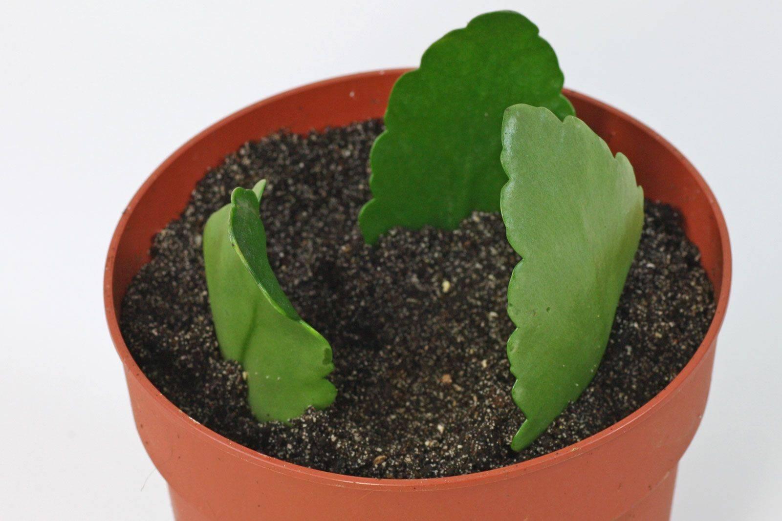 Выращивание каланхоэ: как рассадить, размножить и ухаживать за цветком?