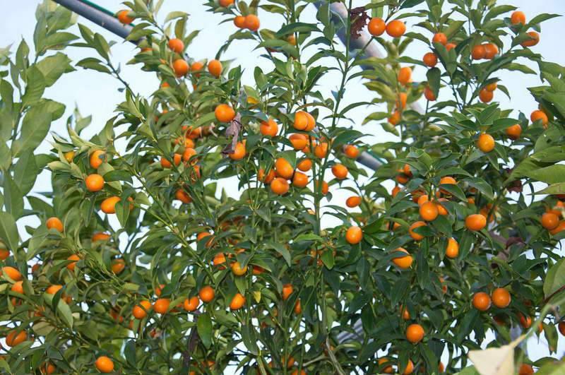 Описание растения кумкват:  происхождение, сорта, вкусовые характеристики