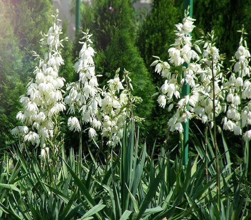 Юкка садовая: посадка и уход, фото, особенности выращивания, размножение