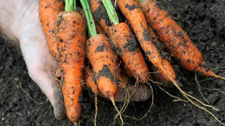Подкормка моркови и свеклы в открытом грунте народными средствами